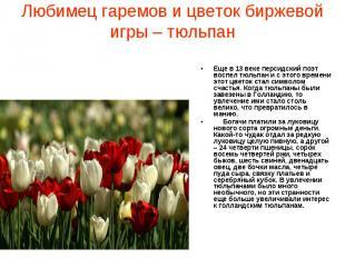 Любимец гаремов и цветок биржевой игры – тюльпан Еще в 13 веке персидский поэт в