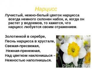 Нарцисс Лучистый, нежно-белый цветок нарцисса всегда немного склонен набок, и, к