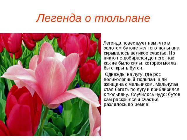 Легенда о тюльпане Легенда повествует нам, что в золотом бутоне желтого тюльпана скрывалось великое счастье. Но никто не добирался до него, так как не было силы, которая могла бы открыть бутон. Однажды на лугу, где рос великолепный тюльпан, шли женщ…