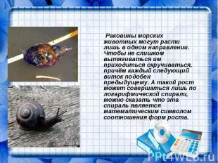 Раковины морских животных могут расти лишь в одном направлении. Чтобы не слишком