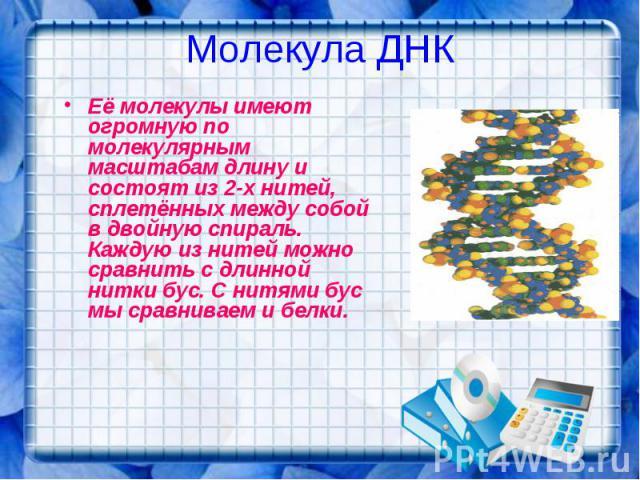 Молекула ДНК Её молекулы имеют огромную по молекулярным масштабам длину и состоят из 2-х нитей, сплетённых между собой в двойную спираль. Каждую из нитей можно сравнить с длинной нитки бус. С нитями бус мы сравниваем и белки.