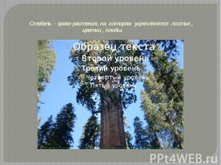 Стебель - орган растения, на котором укрепляются листья , цветки , плоды.