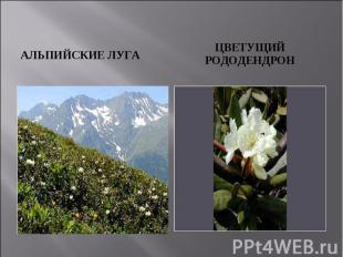 АЛЬПИЙСКИЕ ЛУГА Цветущий рододендрон