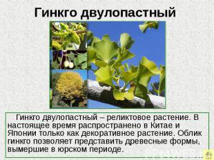 Гинкго двулопастный Гинкго двулопастный – реликтовое растение. В настоящее время