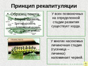 Принцип рекапитуляции У всех позвоночных на определенной стадии развития существ