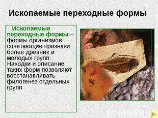Ископаемые переходные формы Ископаемые переходные формы – формы организмов, соче