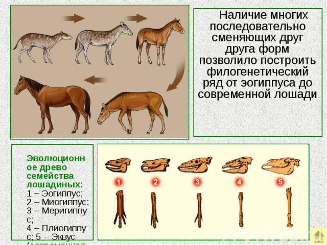 Наличие многих последовательно сменяющих друг друга форм позволило построить филогенетический ряд от эогиппуса до современной лошади Эволюционное древо семейства лошадиных:1–Эогиппус; 2–Миогиппус; 3–Меригиппус; 4–Плиогиппус; 5–Эквус (совре…