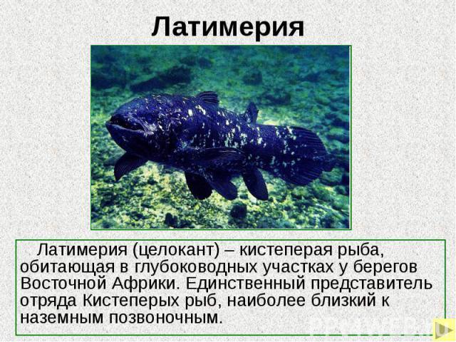 Латимерия Латимерия (целокант) – кистеперая рыба, обитающая в глубоководных участках у берегов Восточной Африки. Единственный представитель отряда Кистеперых рыб, наиболее близкий к наземным позвоночным.