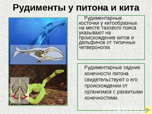 Рудименты у питона и кита Рудиментарные косточки у китообразных на месте тазового пояса указывают на происхождение китов и дельфинов от типичных четвероногих Рудиментарные задние конечности питона свидетельствуют о его происхождении от организмов с …