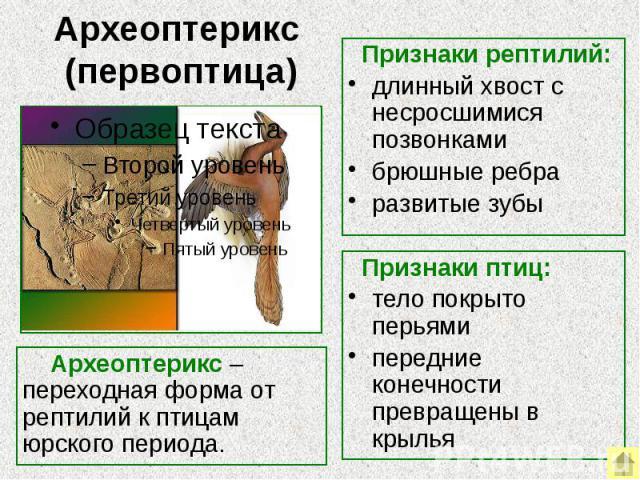 Археоптерикс (первоптица) Археоптерикс – переходная форма от рептилий к птицам юрского периода. Признаки рептилий:длинный хвост с несросшимися позвонкамибрюшные ребраразвитые зубы Признаки птиц:тело покрыто перьямипередние конечности превращены в крылья