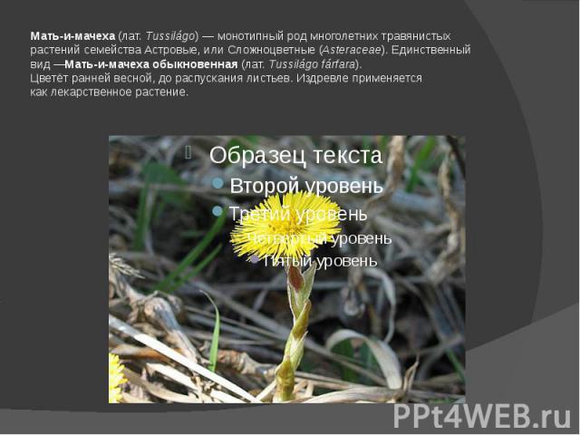 Мать-и-мачеха(лат.Tussilágo)—монотипный родмноголетних травянистых растенийсемействаАстровые, или Сложноцветные(Asteraceae). Единственный вид—Мать-и-мачеха обыкновенная(лат.Tussilágo fárfara).Цветёт ранней весной, до распускания листьев. …