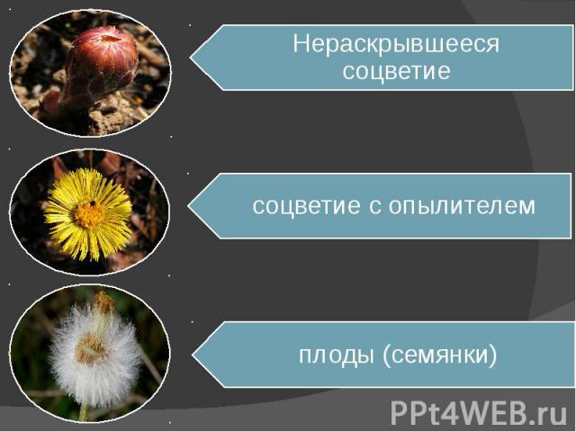 Нераскрывшееся соцветиесоцветие с опылителемплоды (семянки)