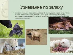 Узнавание по запаху У млекопитающих в опознавании детёнышей огромную роль играет