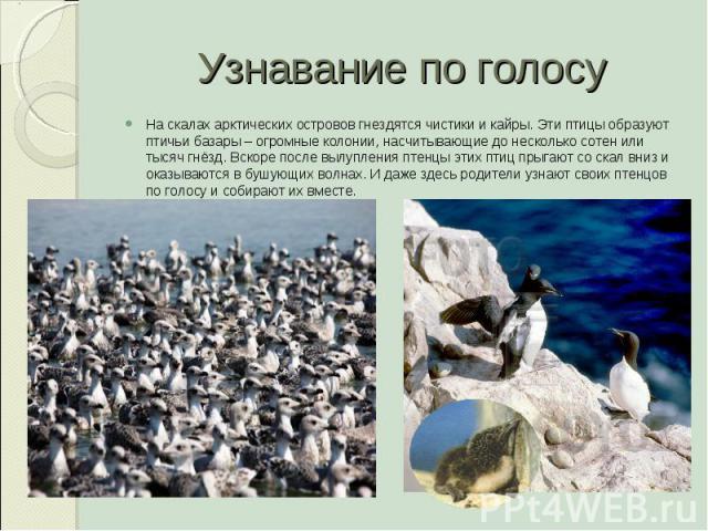 Узнавание по голосу На скалах арктических островов гнездятся чистики и кайры. Эти птицы образуют птичьи базары – огромные колонии, насчитывающие до несколько сотен или тысяч гнёзд. Вскоре после вылупления птенцы этих птиц прыгают со скал вниз и оказ…
