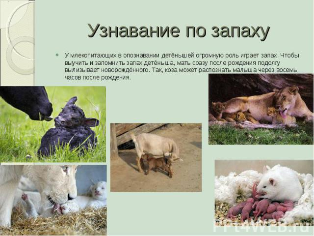 Узнавание по запаху У млекопитающих в опознавании детёнышей огромную роль играет запах. Чтобы выучить и запомнить запах детёныша, мать сразу после рождения подолгу вылизывает новорождённого. Так, коза может распознать малыша через восемь часов после…