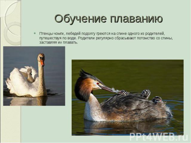 Обучение плаванию Птенцы чомги, лебедей подолгу греются на спине одного из родителей, путешествуя по воде. Родители регулярно сбрасывают потомство со спины, заставляя их плавать.