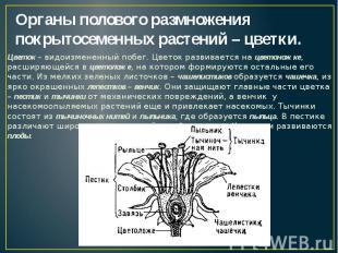 Органы полового размножения покрытосеменных растений – цветки. Цветок – видоизме