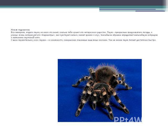 Живая гидравликаВсе наверное, видели паука, но мало кто знает, сколько тайн хранит это интересное существо. Пауки - прекрасные предсказатели погоды, и ученых очень интересуют эти «барометры», они чувствуют запахи, имеют зрение и слух, тончайшим обра…