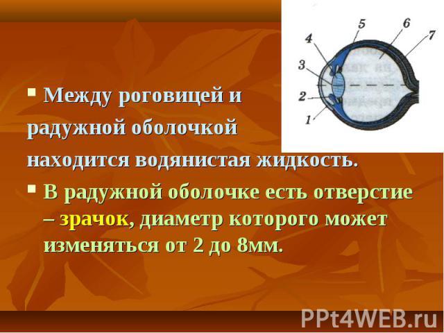 Между роговицей и радужной оболочкой находится водянистая жидкость.В радужной оболочке есть отверстие – зрачок, диаметр которого может изменяться от 2 до 8мм.