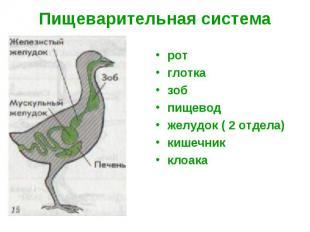 Пищеварительная система ротглотказобпищеводжелудок ( 2 отдела)кишечникклоака