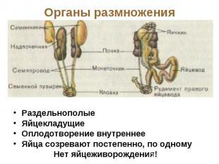 Органы размножения РаздельнополыеЯйцекладущиеОплодотворение внутреннееЯйца созре