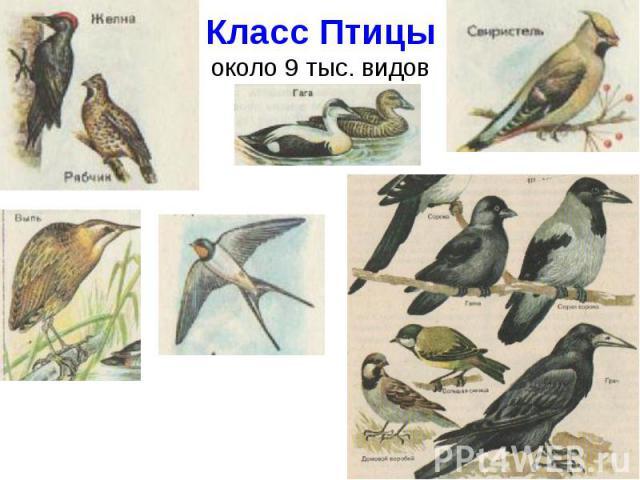 Класс Птицыоколо 9 тыс. видов