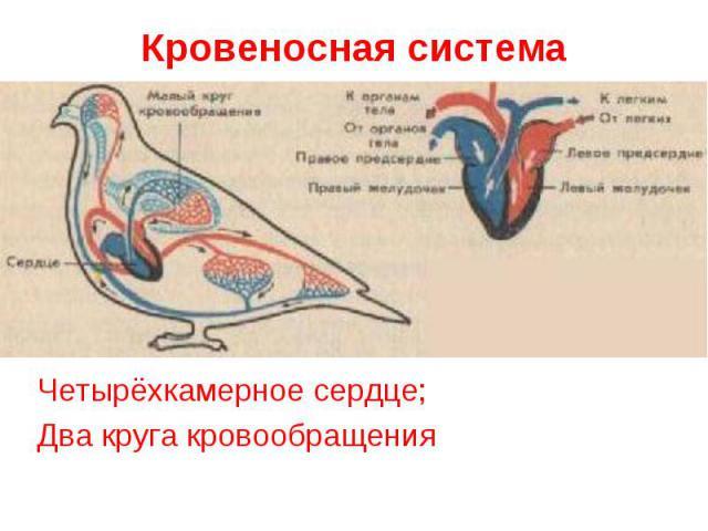 Кровеносная система Четырёхкамерное сердце;Два круга кровообращения