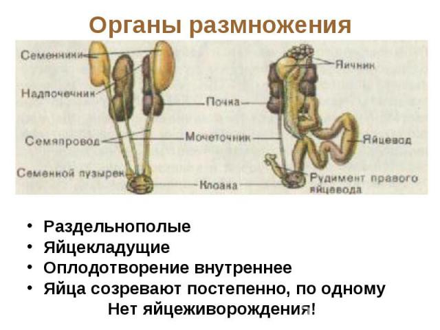 Органы размножения РаздельнополыеЯйцекладущиеОплодотворение внутреннееЯйца созревают постепенно, по одному Нет яйцеживорождения!