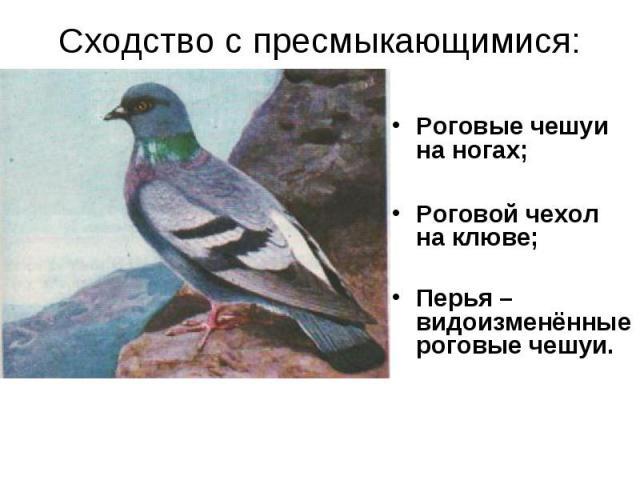 Сходство с пресмыкающимися: Роговые чешуи на ногах;Роговой чехол на клюве;Перья – видоизменённые роговые чешуи.