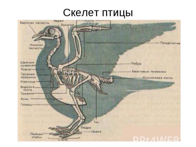 Скелет птицы