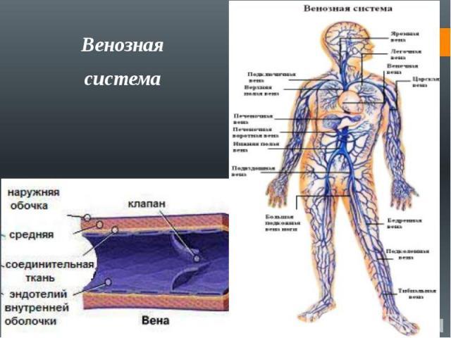 Венознаясистема
