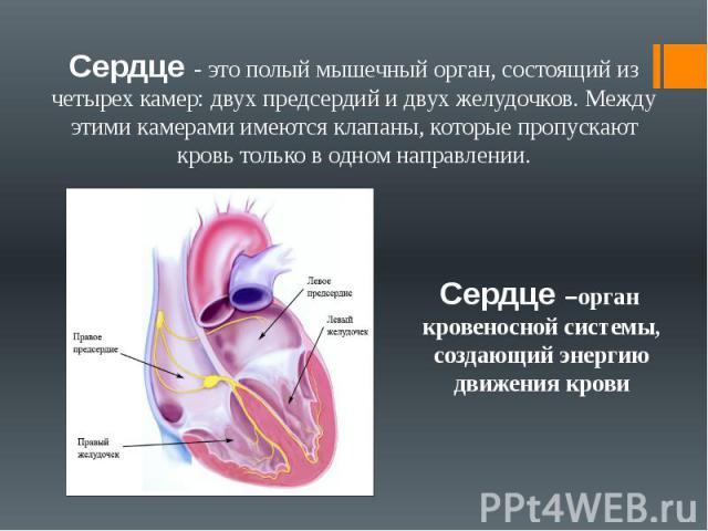 Сердце - это полый мышечный орган, состоящий из четырех камер: двух предсердий и двух желудочков. Между этими камерами имеются клапаны, которые пропускают кровь только в одном направлении. Сердце –орган кровеносной системы, создающий энергию движени…