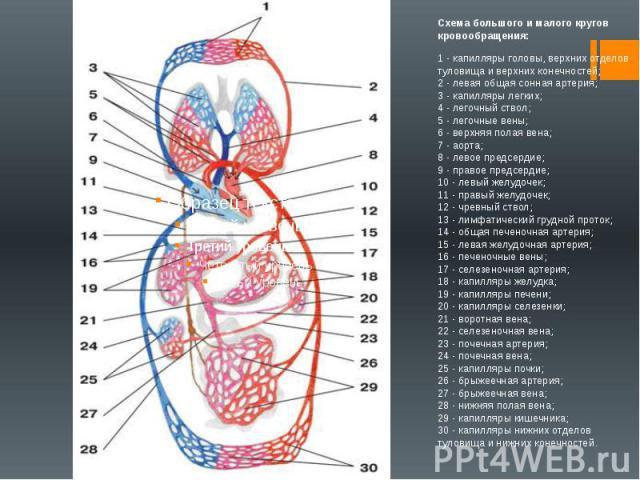 Схема большого и малого кругов кровообращения:1 - капилляры головы, верхних отделов туловища и верхних конечностей;2 - левая общая сонная артерия;3 - капилляры легких;4 - легочный ствол;5 - легочные вены;6 - верхняя полая вена;7 - аорта;8 - л…