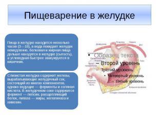 Пищеварение в желудке Пища в желудке находится несколько часов (3—10), а вода по