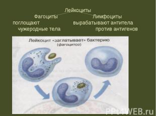 ЛейкоцитыФагоциты Лимфоцитыпоглощают вырабатывают антитела чужеродные тела проти