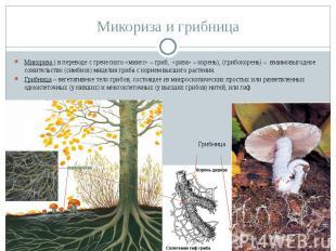 Микориза и грибница Микориза ( в переводе с греческого «микес» – гриб, «риза» –