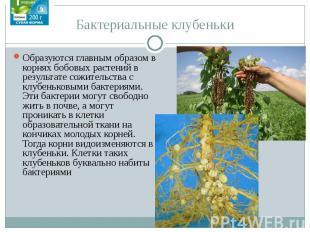 Бактериальные клубеньки Образуются главным образом в корнях бобовых растений в р