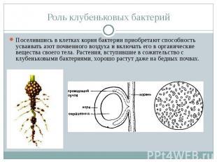 Роль клубеньковых бактерий Поселившись в клетках корня бактерии приобретают спос