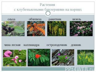 Растения с клубеньковыми бактериями на корнях