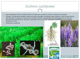 Зелёное удобрение При перегнивании побегов, корней бобовых растений почва обогащ