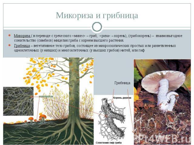 Микориза и грибница Микориза ( в переводе с греческого «микес» – гриб, «риза» – корень), (грибокорень) – взаимовыгодное сожительство (симбиоз) мицелия гриба с корнем высшего растения.Грибница – вегетативное тело грибов, состоящее из микроскопических…