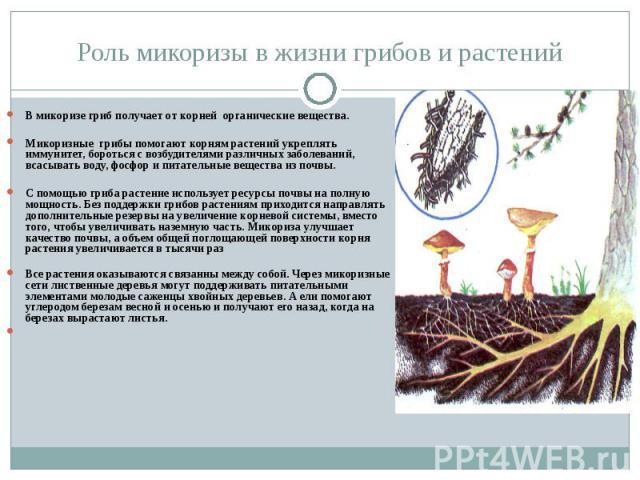 Роль микоризы в жизни грибов и растений В микоризе гриб получает от корней органические вещества. Микоризные грибы помогают корням растений укреплять иммунитет, бороться с возбудителями различных заболеваний, всасывать воду, фосфор и питательные вещ…