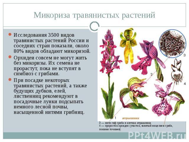 Микориза травянистых растений Исследования 3500 видов травянистых растений России и соседних стран показали, около 80% видов обладают микоризой.Орхидеи совсем не могут жить без микоризы. Их семена не прорастут, пока не вступят в симбиоз с грибами.Пр…