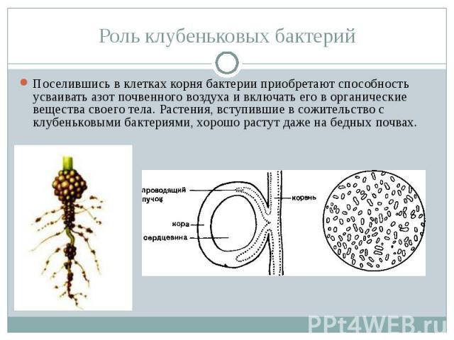 Роль клубеньковых бактерий Поселившись в клетках корня бактерии приобретают способность усваивать азот почвенного воздуха и включать его в органические вещества своего тела. Растения, вступившие в сожительство с клубеньковыми бактериями, хорошо раст…
