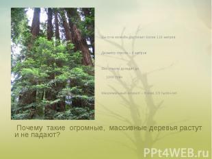Высота секвойи достигает более 110 метровДиаметр ствола – 6 метровВес ствола дох