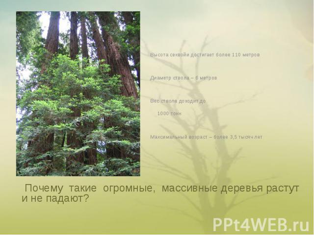 Высота секвойи достигает более 110 метровДиаметр ствола – 6 метровВес ствола доходит до 1000 тоннМаксимальный возраст – более 3,5 тысяч лет Почему такие огромные, массивные деревья растут и не падают?