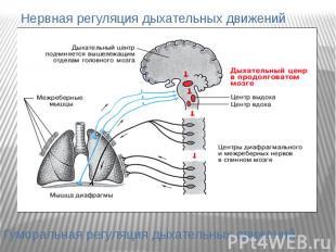 Нервная регуляция дыхательных движений Гуморальная регуляция дыхательных движени