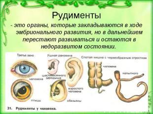 Рудименты - это органы, которые закладываются в ходе эмбрионального развития, но