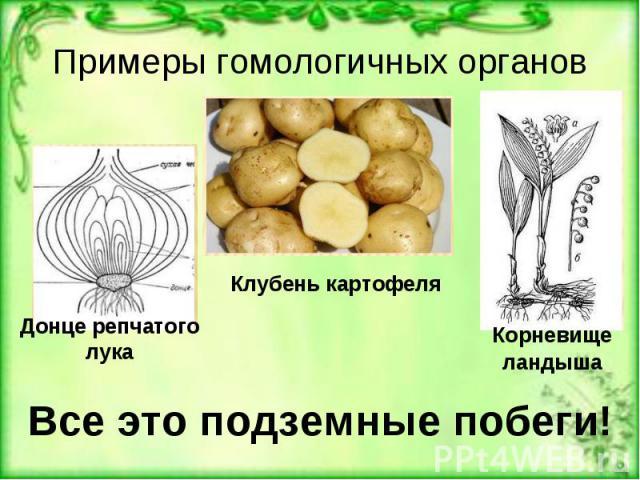 Примеры гомологичных органов Все это подземные побеги!