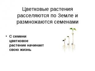 Цветковые растения расселяются по Земле и размножаются семенами С семени цветков